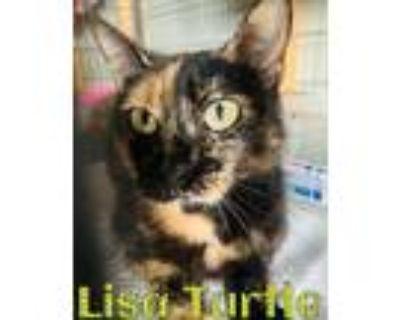 Adopt Lisa Turtle a Domestic Short Hair, Tortoiseshell