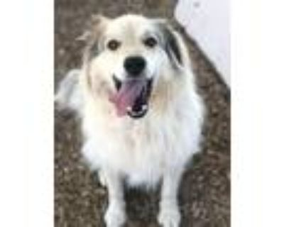 Adopt TATE a Great Pyrenees, Mixed Breed