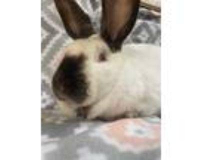 Adopt Ella a White Californian / Mixed (short coat) rabbit in Edinburg