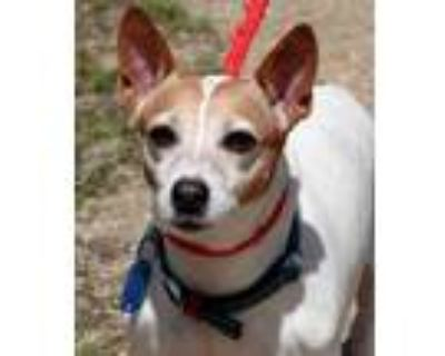 Adopt Missy a Jack Russell Terrier