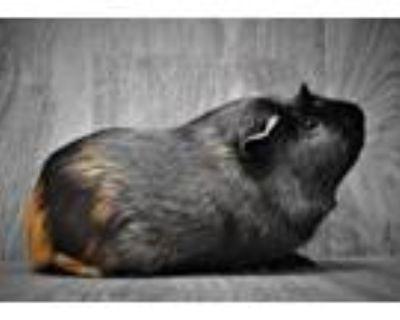 Adopt Bo a Guinea Pig