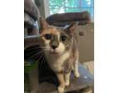 Adopt Elphie a Dilute Calico, Domestic Short Hair