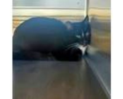 Adopt a All Black Domestic Shorthair / Mixed (short coat) cat in Bakersfield