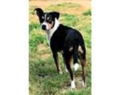 Adopt LITTLE MAN SCOUT a Tricolor (Tan/Brown & Black & White) Jack Russell