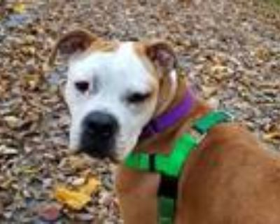 Adopt Geno a White - with Tan, Yellow or Fawn Boxer / Staffordshire Bull Terrier
