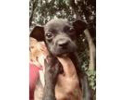 Adopt Freedom a Black Labrador Retriever, Rhodesian Ridgeback