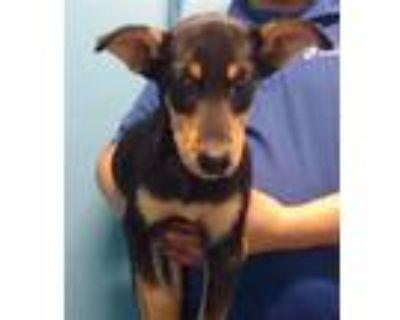 Adopt A575850 a Siberian Husky, Doberman Pinscher