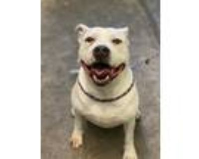 Adopt ROCCO a White American Pit Bull Terrier / Mixed dog in Sacramento