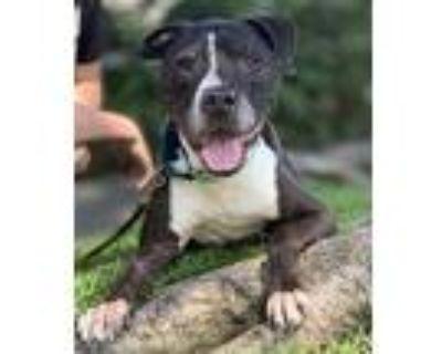 Urgent Foster Needed Ramon, Pit Bull Terrier For Adoption In Santa Monica