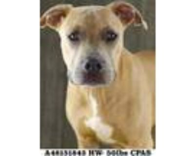 Adopt Gaines a Tan/Yellow/Fawn American Pit Bull Terrier / Mixed dog in