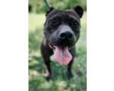 Adopt Special a Mixed Breed (Large) / Pit Bull Terrier / Mixed dog in