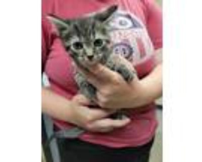 Adopt Roger Taylor a Brown or Chocolate Domestic Shorthair / Domestic Shorthair
