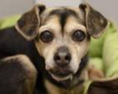 Adopt GOLDIE a Black Beagle / Pug / Mixed dog in Denver, CO (32123356)