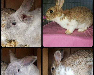 Male and female bunnies. FREE to the RIGHT home.