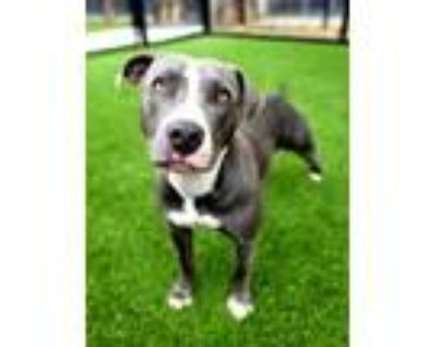 Adopt 817-21 a Pit Bull Terrier, Mixed Breed
