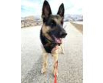 Adopt Zoe a Black - with Tan, Yellow or Fawn German Shepherd Dog / Mixed dog in