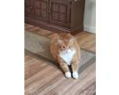 Adopt Garfield a Orange or Red (Mostly) Persian / Mixed cat in Longmont