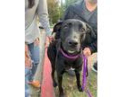 Adopt Zina [Read Bio 1st] a Labrador Retriever, American Bully
