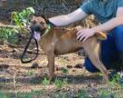 Adopt Jake a Hound, Pit Bull Terrier