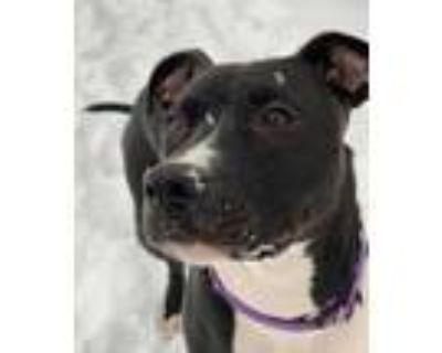 Adopt Julius a Black American Pit Bull Terrier / Mixed dog in Ann Arbor
