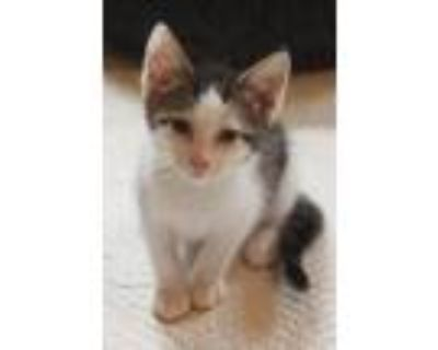 Adopt Pistachio a Calico / Mixed cat in Maywood, IL (32139381)