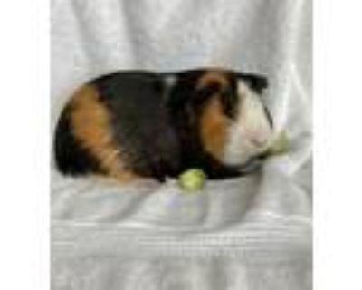 Adopt Keller Welcome Home~ Wakko & Yakko a Guinea Pig