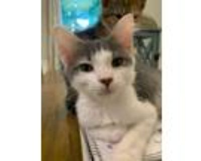 Adopt Jessica Fletcher a Gray, Blue or Silver Tabby Domestic Shorthair (short