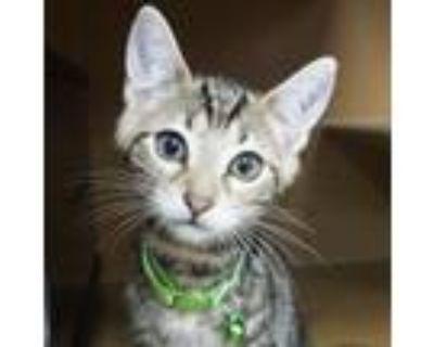 Adopt Teddy -$25 a American Shorthair, Domestic Short Hair