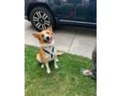 Adopt Buddy a Collie / Shepherd (Unknown Type) / Mixed dog in Denver