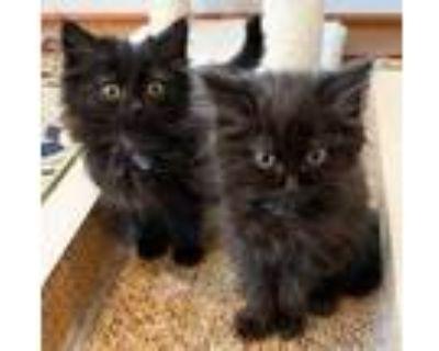 Adopt Stormy a All Black Domestic Mediumhair (medium coat) cat in Merrifield