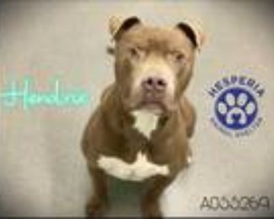 Adopt HENDRIX a Brown/Chocolate American Pit Bull Terrier / Mixed dog in