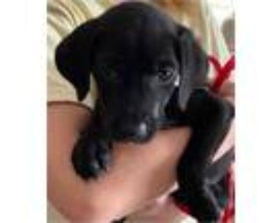 Adopt Baby Agnes a Labrador Retriever