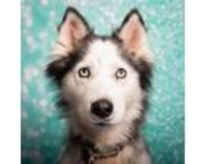 Adopt Jewel Blooms a Siberian Husky