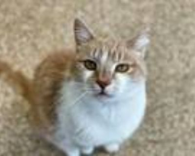 Adopt ZIGGY a Orange or Red (Mostly) Domestic Shorthair / Mixed (short coat) cat