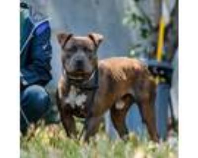 Adopt Toby a Brown/Chocolate - with White American Pit Bull Terrier / American