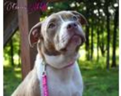 Adopt Cocoa Puff a White - with Brown or Chocolate Pit Bull Terrier / Mixed dog