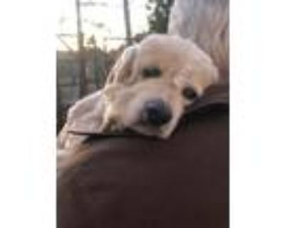 Adopt Brigit a White - with Tan, Yellow or Fawn Cocker Spaniel / Mixed dog in