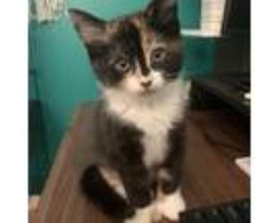 Adopt Reese a Domestic Shorthair / Mixed cat in Potomac, MD (31620900)