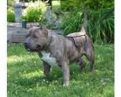Big Ed, American Pit Bull Terrier For Adoption In Midland, Virginia