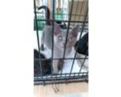 Adopt 5352 Gracie a Gray or Blue Domestic Mediumhair / Mixed cat in Hartwell