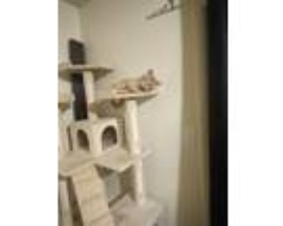 Adopt Tiger a Orange or Red Tabby American Shorthair / Mixed (short coat) cat in