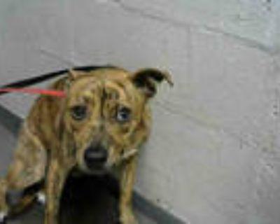 Adopt JOJO a Brown/Chocolate Labrador Retriever / Mixed dog in Atlanta
