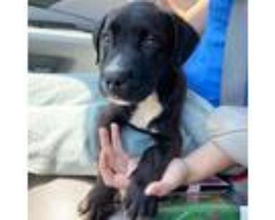 Adopt Sailor a Labrador Retriever