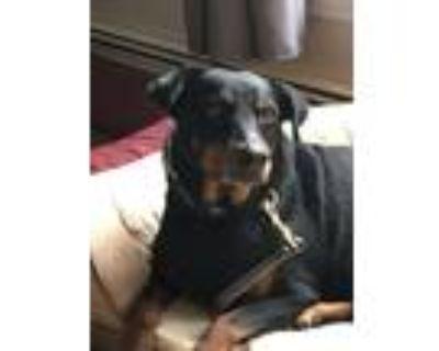 Adopt Osito a Doberman Pinscher, Rottweiler