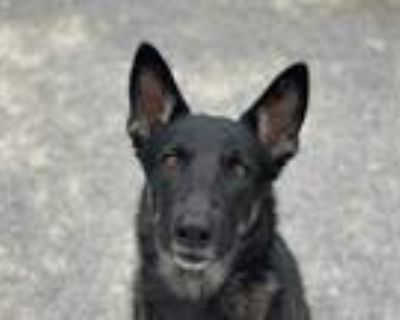 Adopt LUCY a Black - with White German Shepherd Dog / Mixed dog in Albuquerque