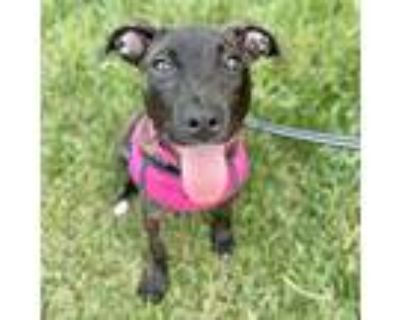 Adopt Cammie a Brindle American Staffordshire Terrier / Mixed dog in Itasca