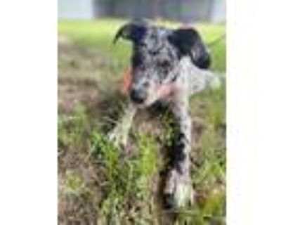 Adopt Kitty (Pending) a Merle Catahoula Leopard Dog / Mixed dog in Oakland