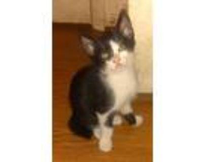 Adopt Shorty a Black & White or Tuxedo Domestic Shorthair (short coat) cat in