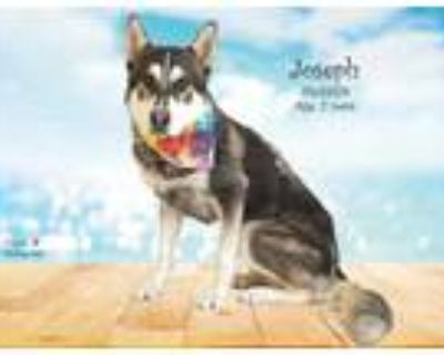 Adopt Dog a Black - with Tan, Yellow or Fawn Husky / Mixed dog in Thousand