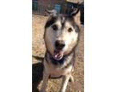 Adopt Gunny a Black Husky / Mixed dog in Cheyenne, WY (31459979)